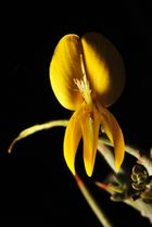 Flor de Aliaga.