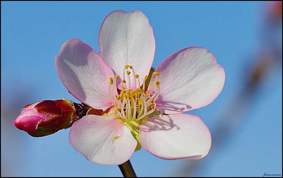 Flor de Almendro 2