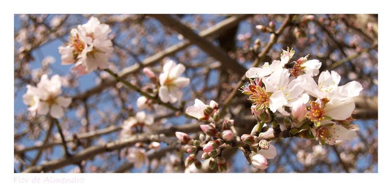 - Flor de Almendro -