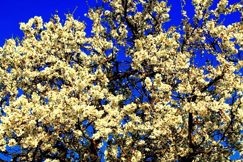 flor de almendros