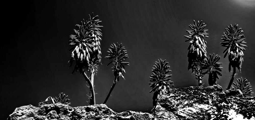 """""""Flor de Cactus"""""""