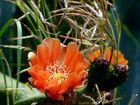 flor de captus