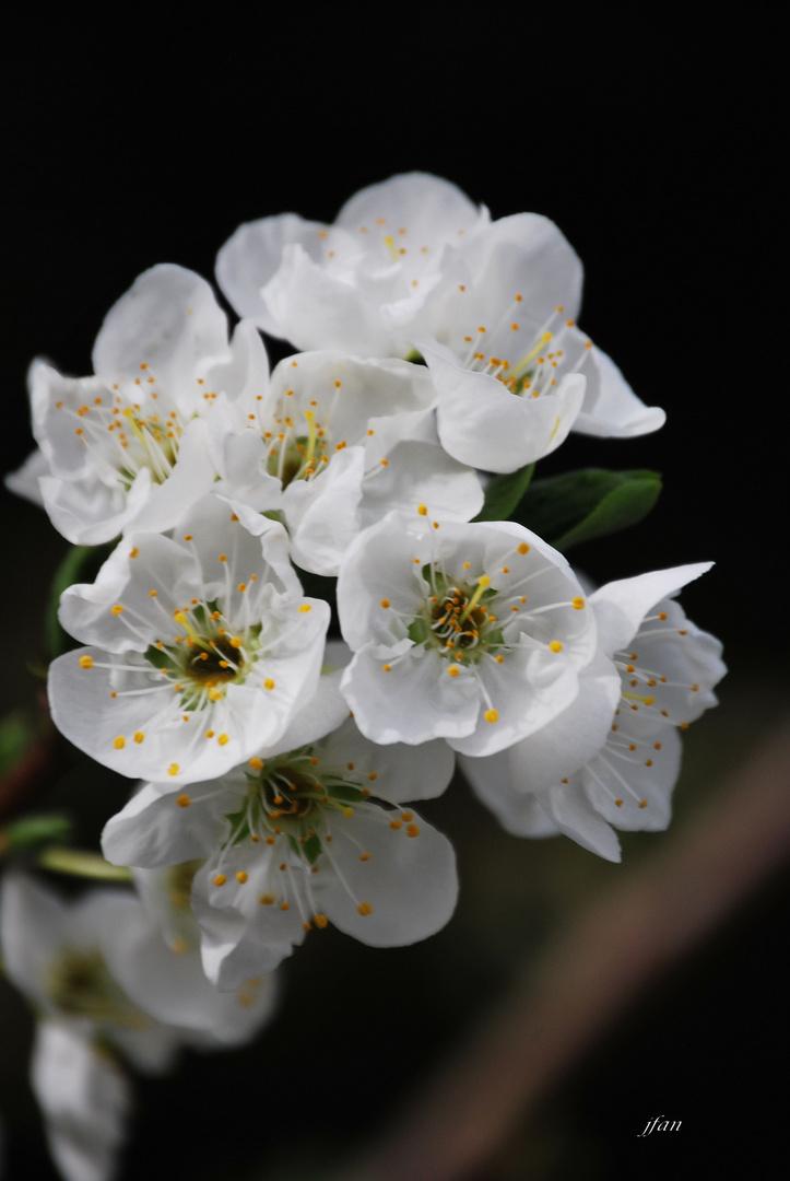 flor de ciruelo