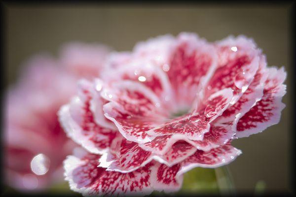 flor de faralaes