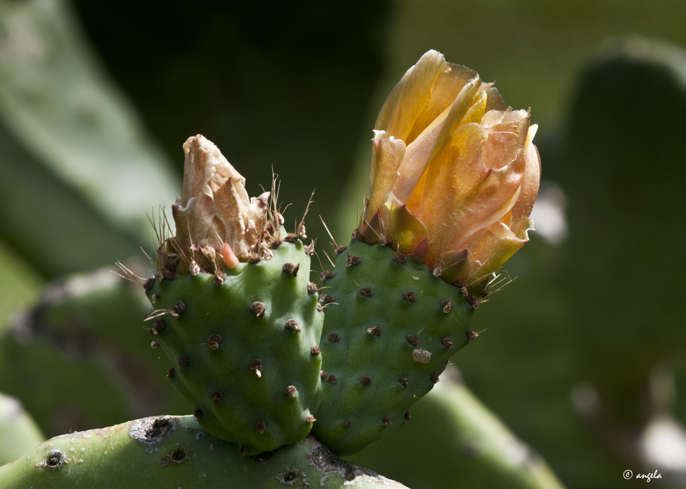 Flor de higo chumbo