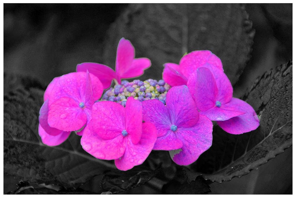 Flor de Hortensia sobre fondo negro.