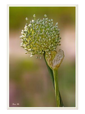 Flor de la cebolla