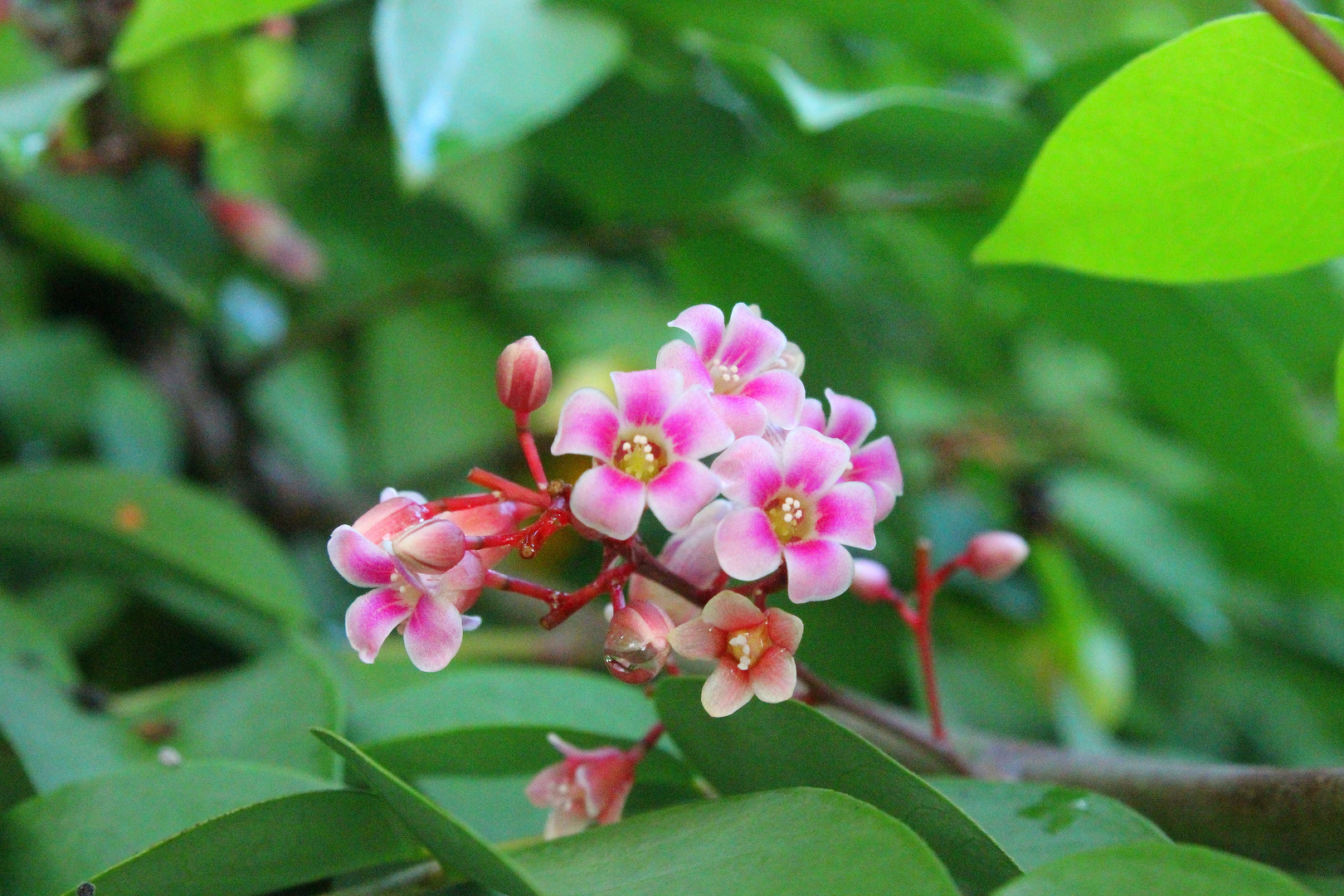 """flor de la fruta """"carambola"""""""