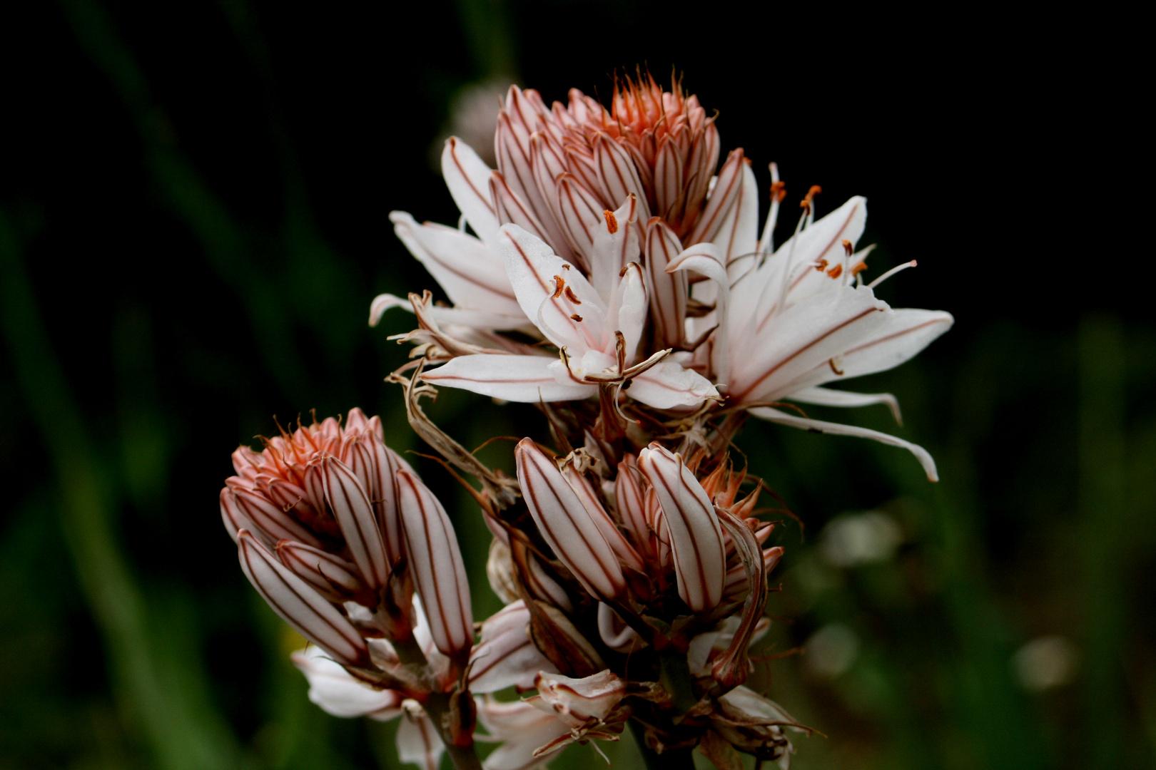 Flor de La Gamona