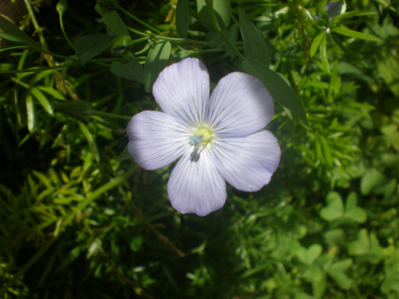 Flor de la linaza