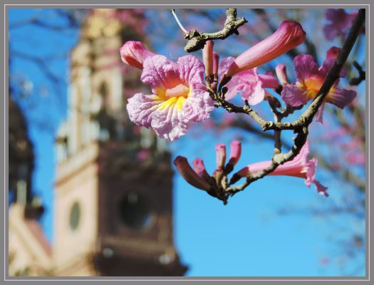 Flor de lapacho