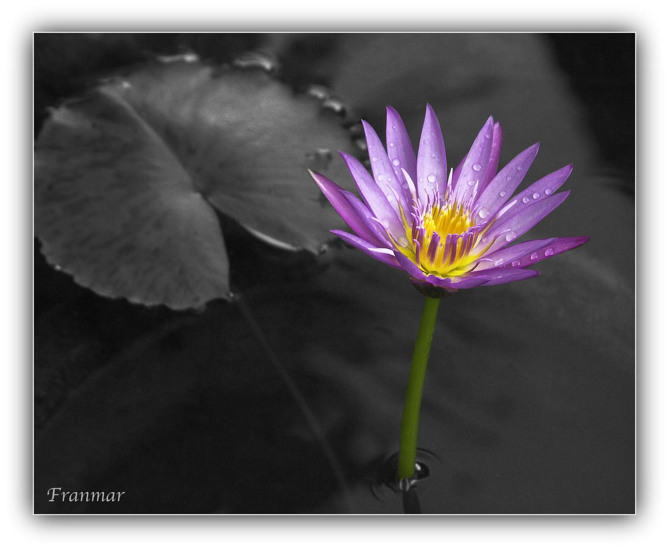 Flor de Loto en fondo gris