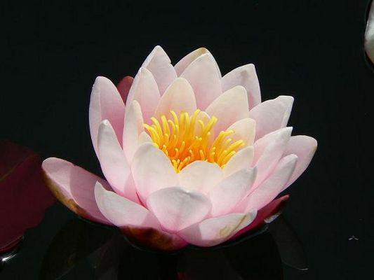 Flor de Loto en Valdivia