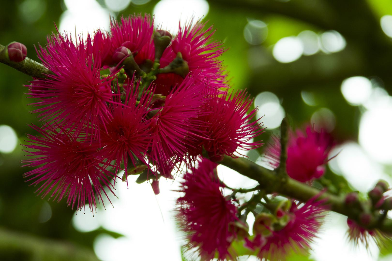 Flor de manzana de agua