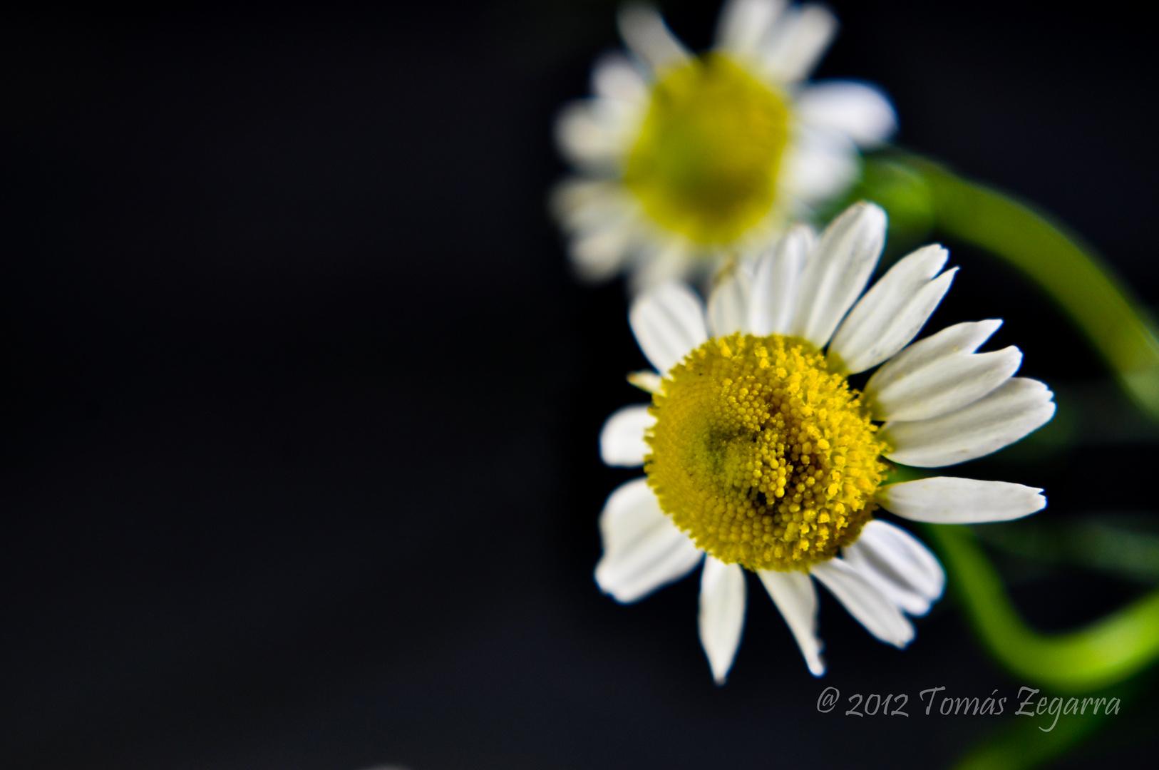 Flor de Manzanilla 2