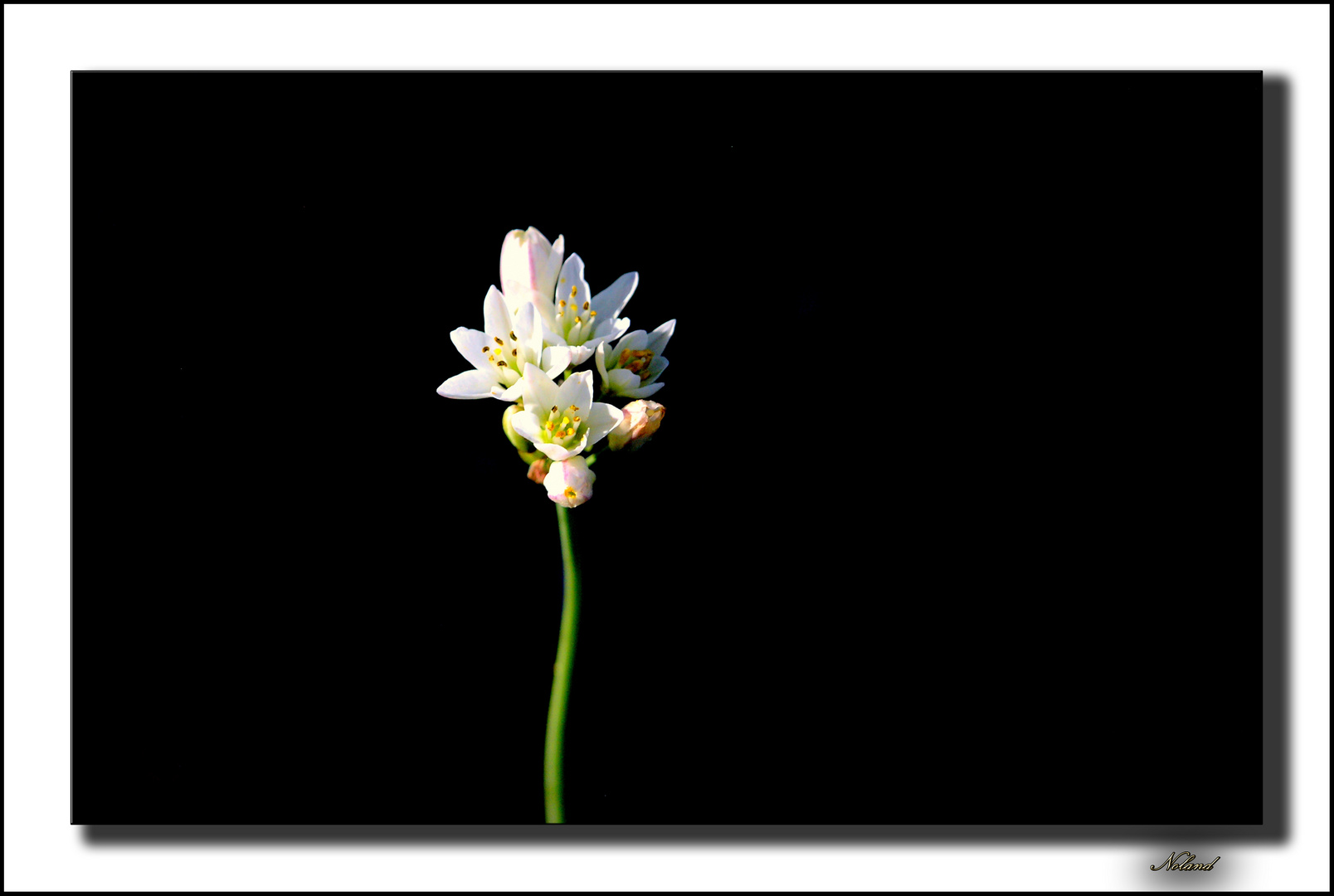 Flor de mayo II