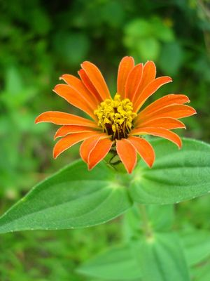 flor de pétalos naranja