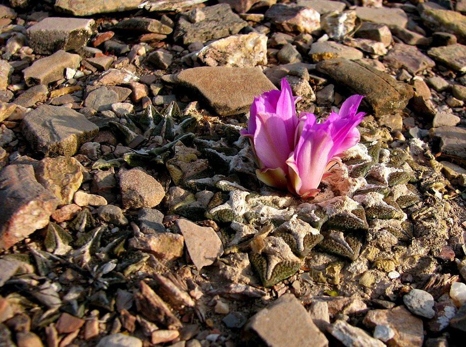 Flor de Piedras