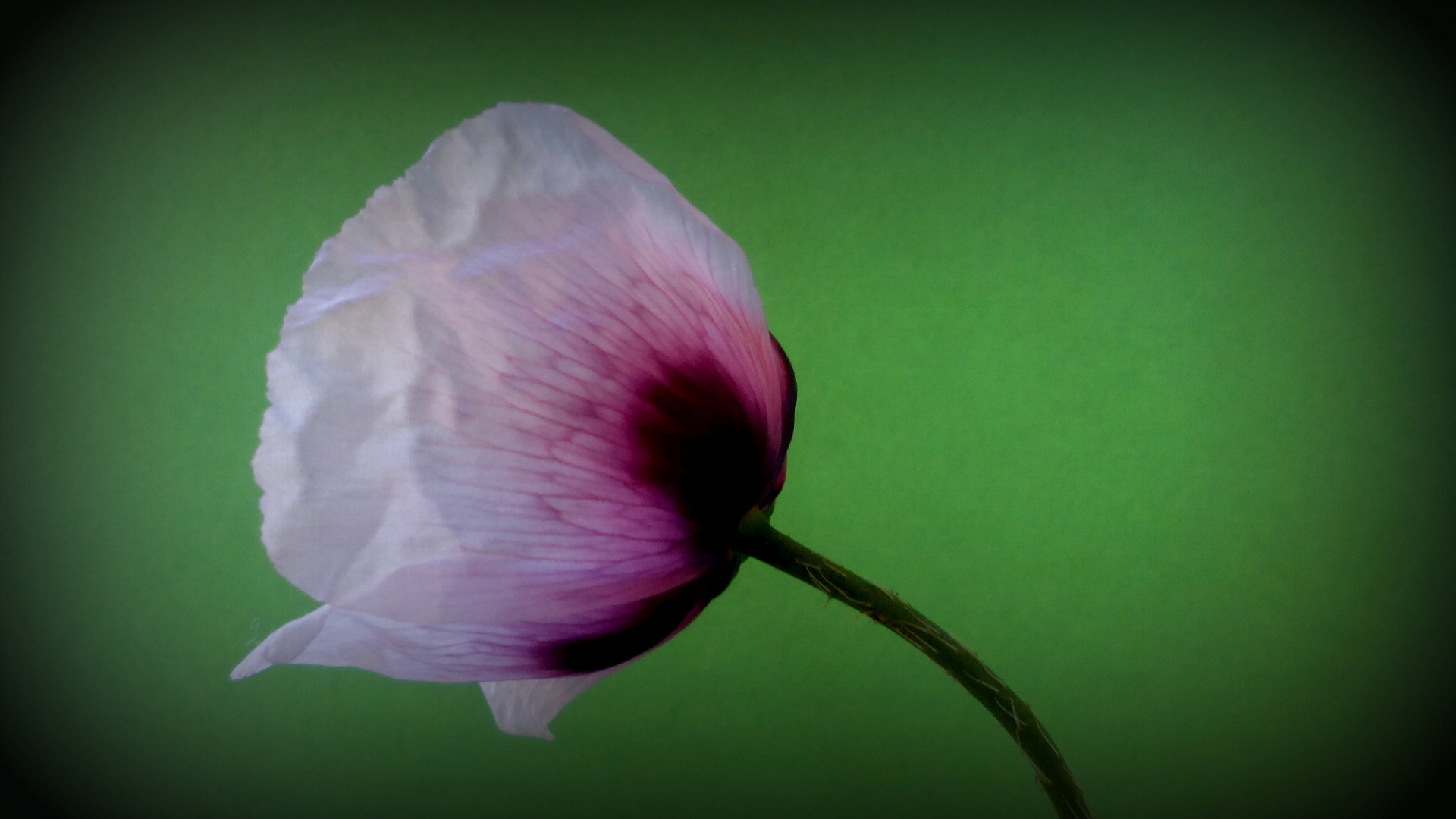 Flor de Rosella
