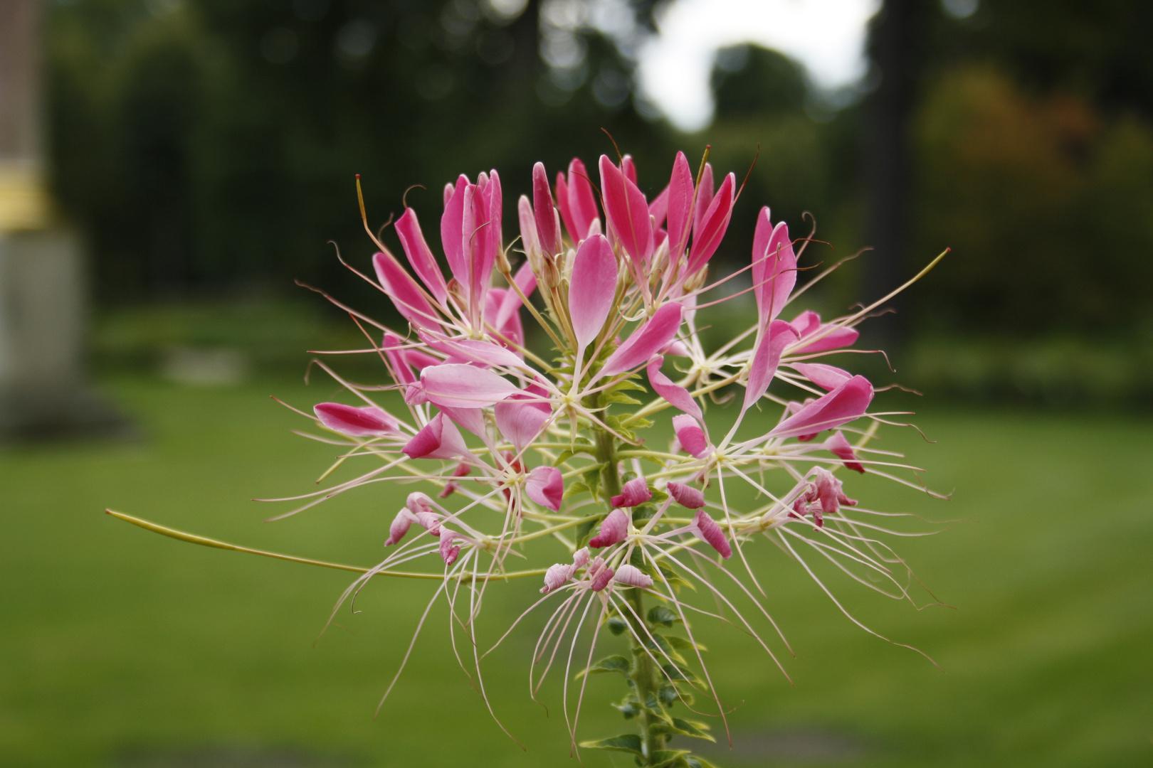 Flor de Sanssouci