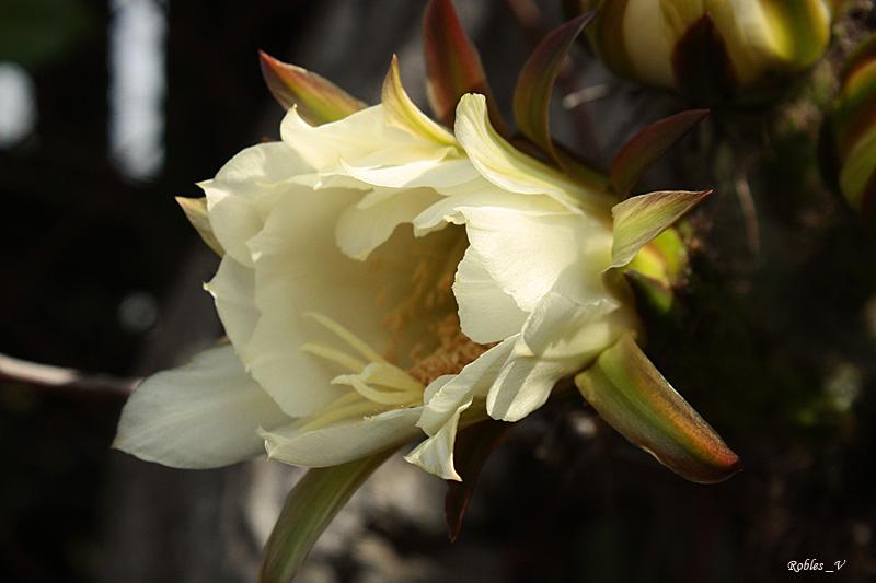 Flor del cactus