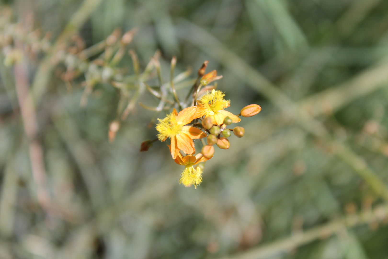Flor del campo
