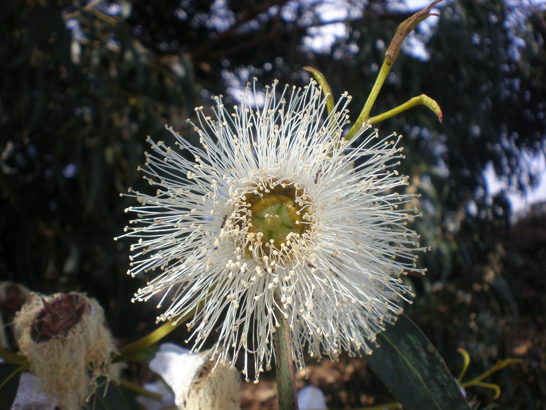 Flor del Eucalipto