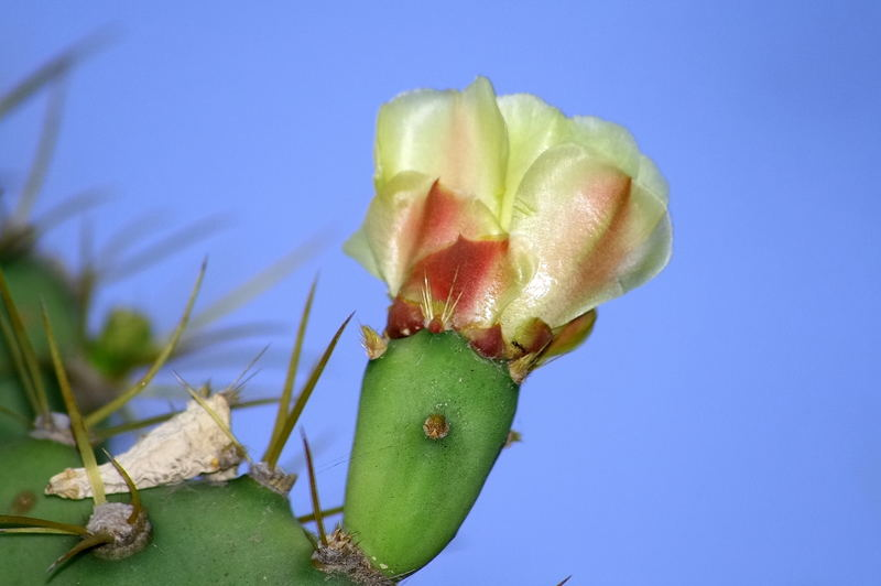 Flor del higo picon