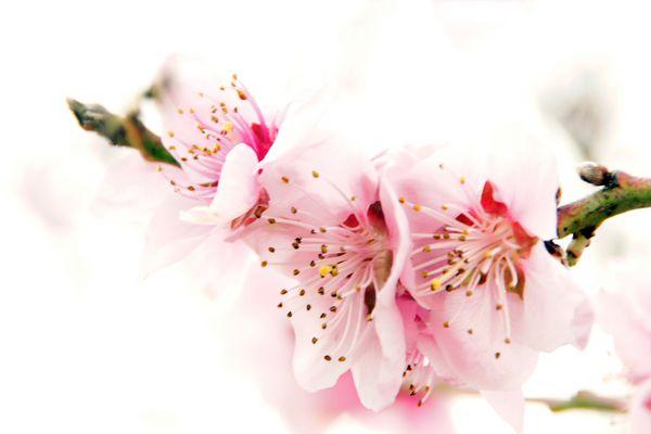 Flor del Peladillo: