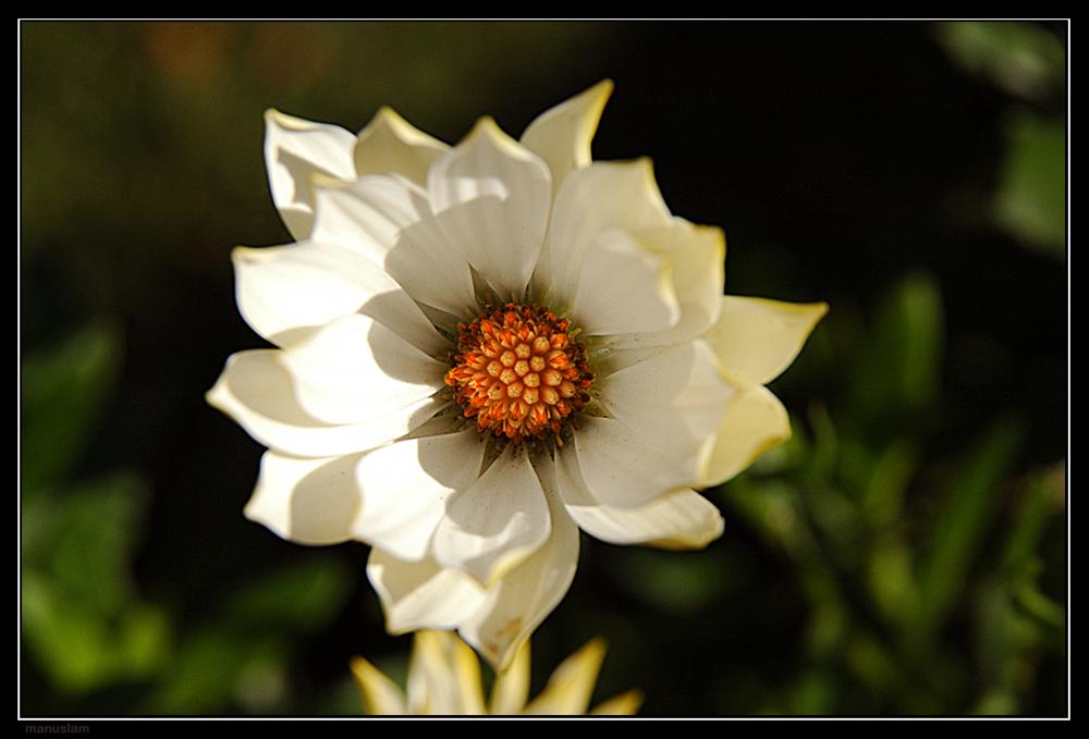 Flor d'ivern