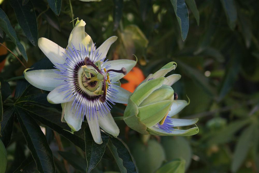 Flor frutal