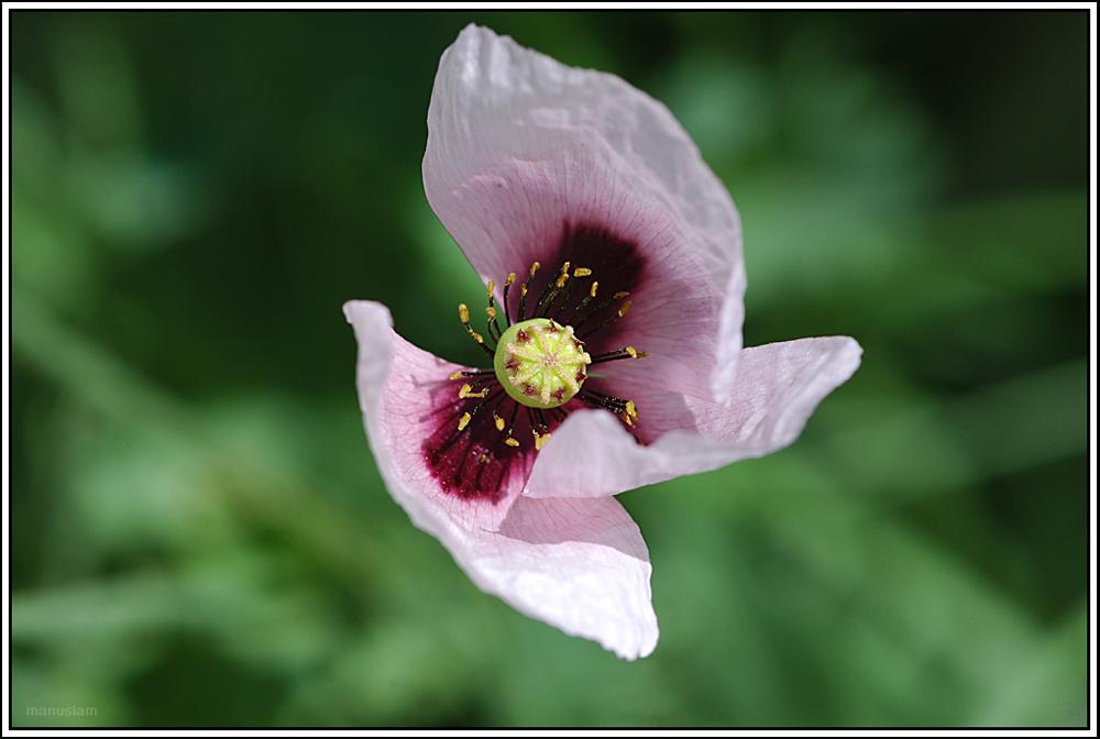 Flor Hecita
