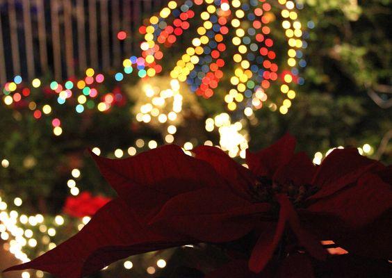 Flor Noche Buena y luces navideñas