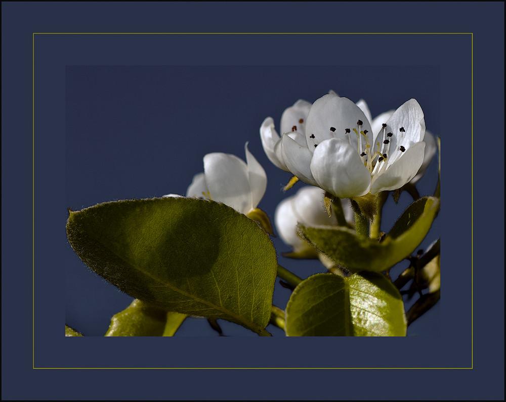Flor Peral 2