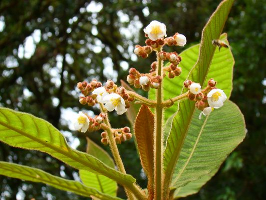 flor silvestre en Honduras