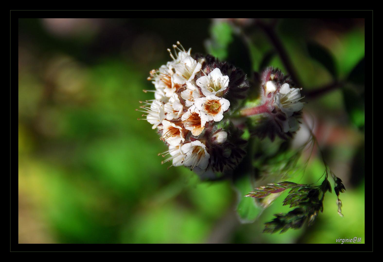 Flora blanca