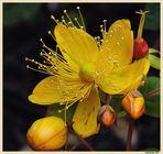 FLORA CANARIA (HYPERICUM GLANDULOSUM)