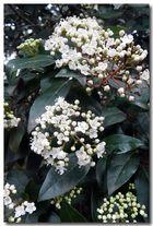 Flora Köln - auch der Schneeball blüht schon