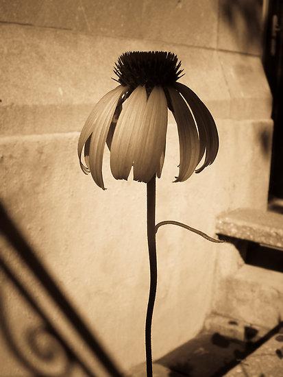 Flora sépia