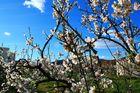 floracion de los almendros