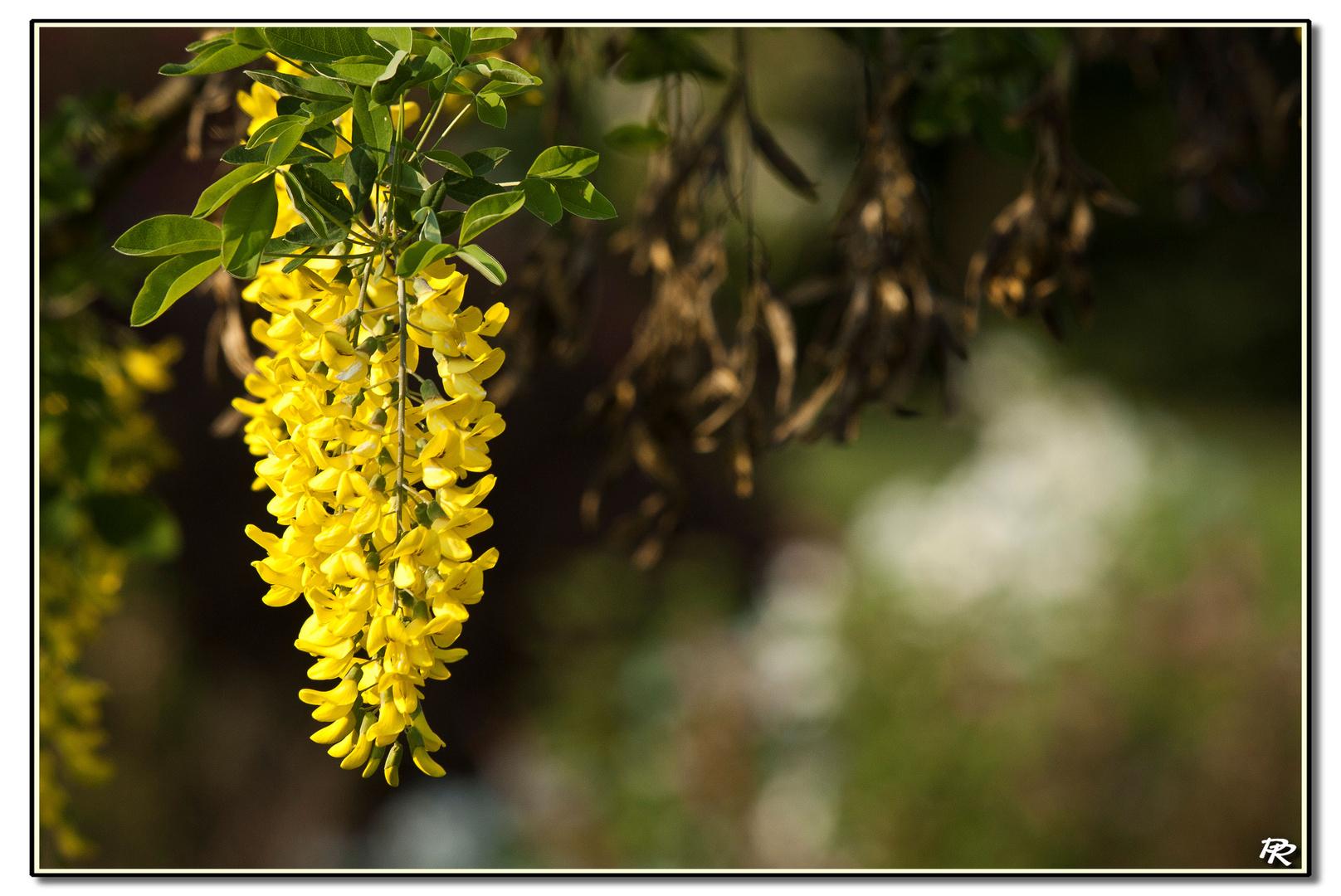 Floraison de cytise