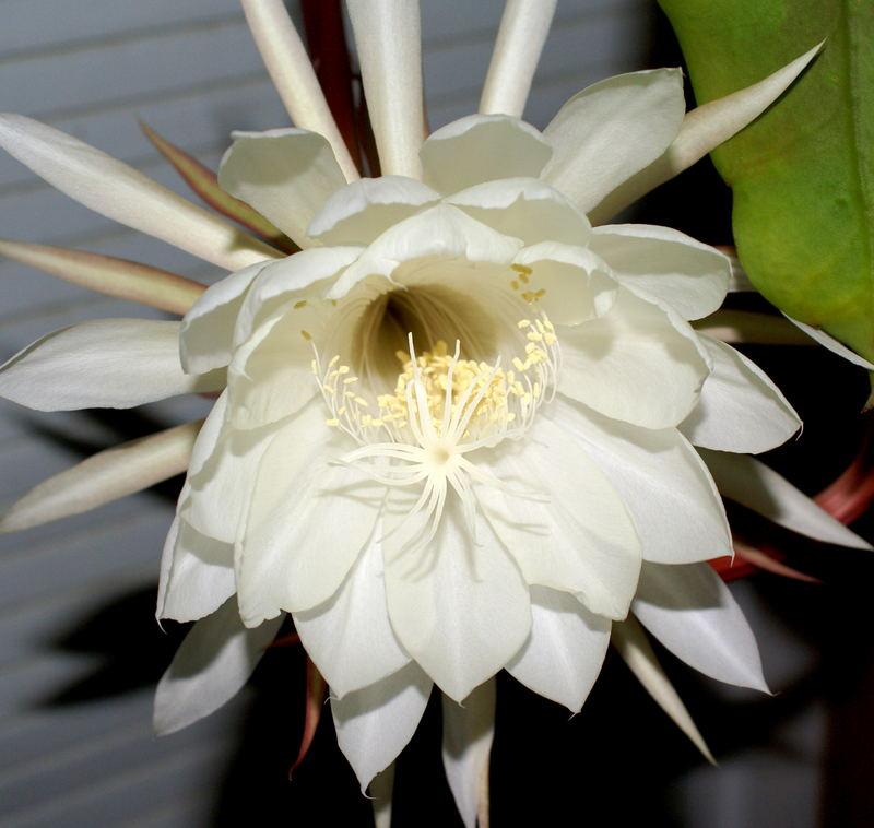 floraison de la reine de la nuit
