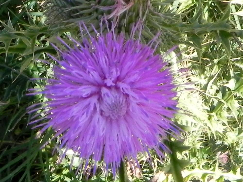 florcita del campo