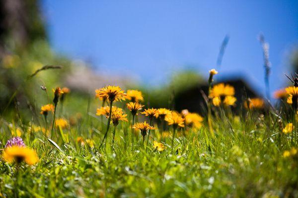 Flore alpine