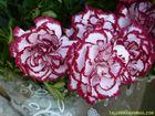 Flores (46)