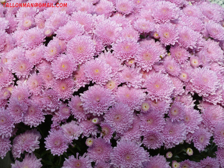 Flores (51)