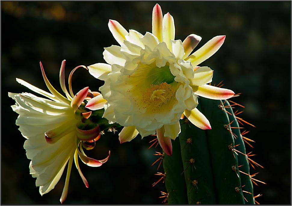 Flores de cacto de Lanzarote