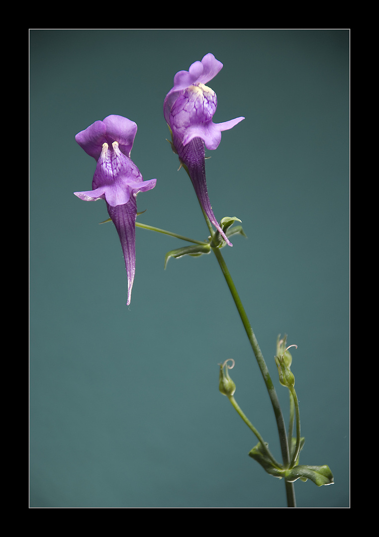 Flores de Linaria