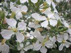 Flores del rabano