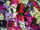 Flores en Semana Santa Sevillana